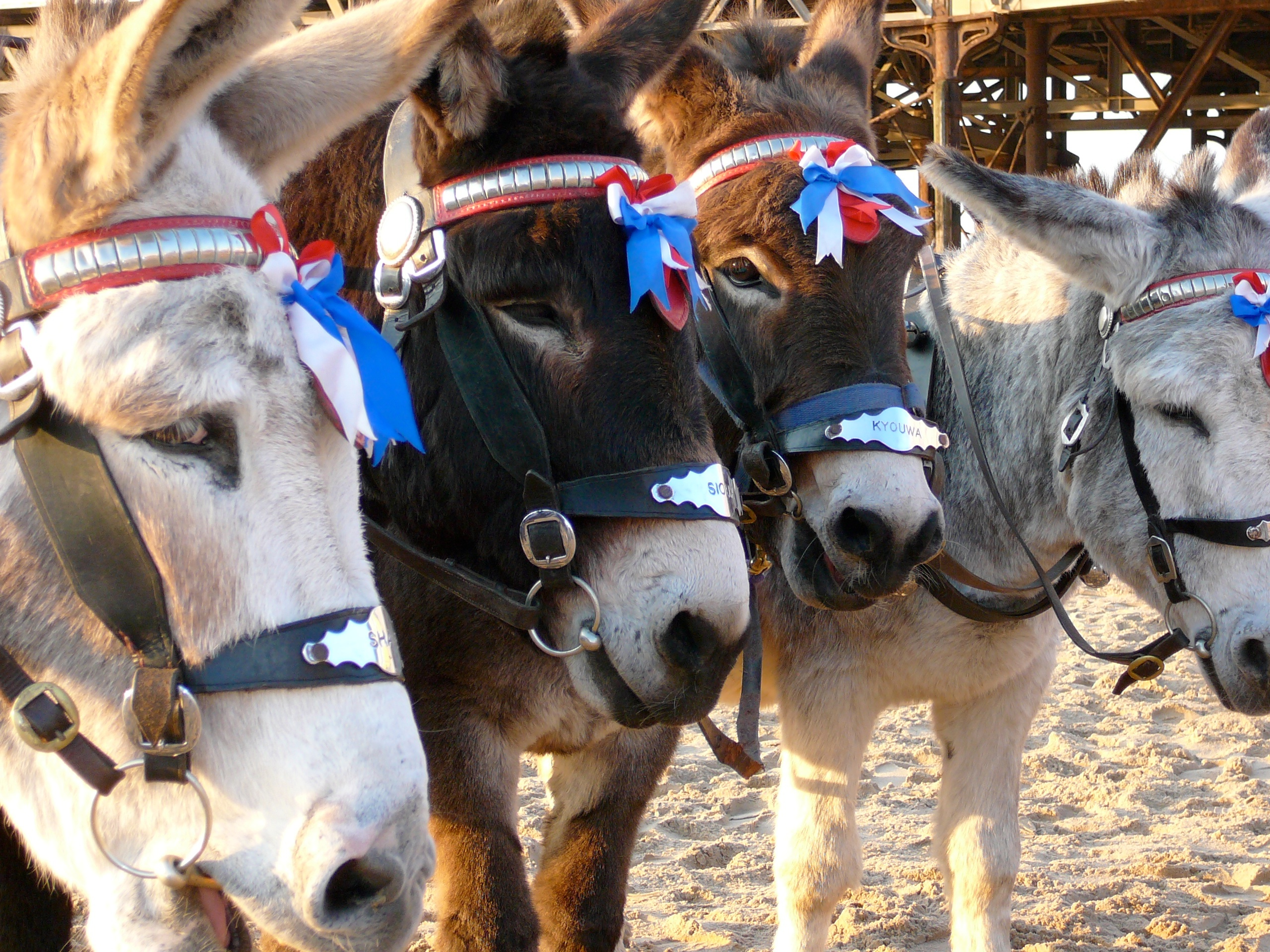 Donkeys in Blackpool, England